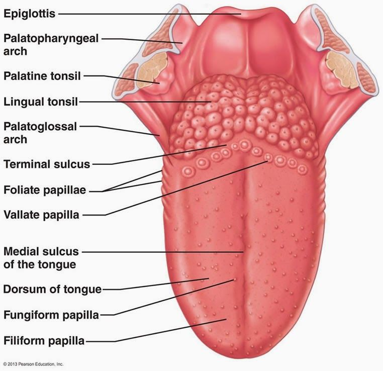 the-anatomy-of-the-tongue - Google Search | physiology | Pinterest ...