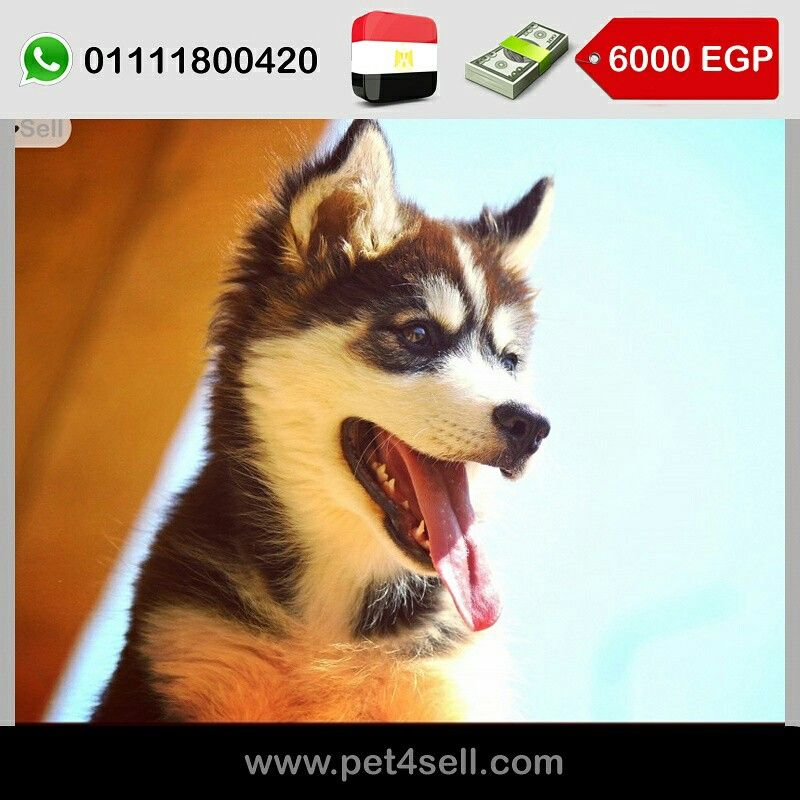 Egypt New Cairo For Sale Siberian Husky Puppies Litter P 55 Days In Pictures Males Available Puppy Litter Siberian Husky Puppies Husky Puppy