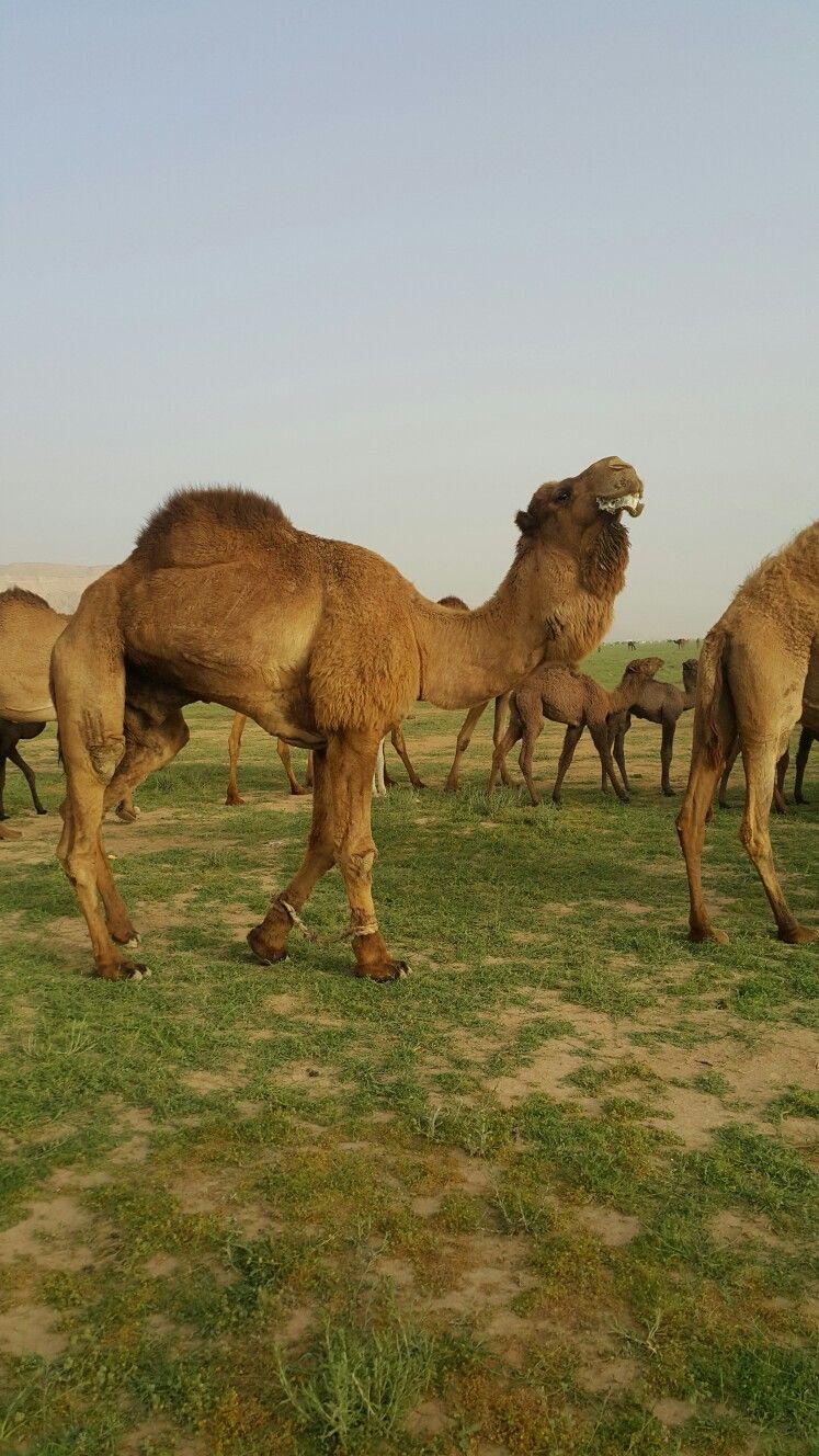 Camel in the desert of Saudi Arabia -Riyadh