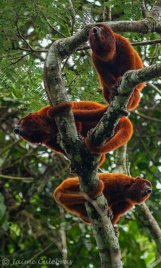 Howler Monkeys Rainforest Animals Mammals Animals