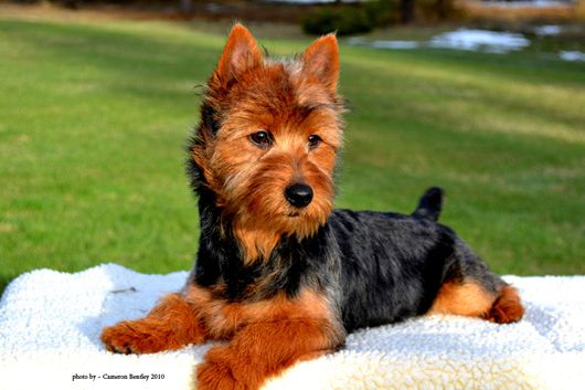 Australian Terrier.  Simply the best.  Ginger our family dog is one of them.  Got to love their personality.