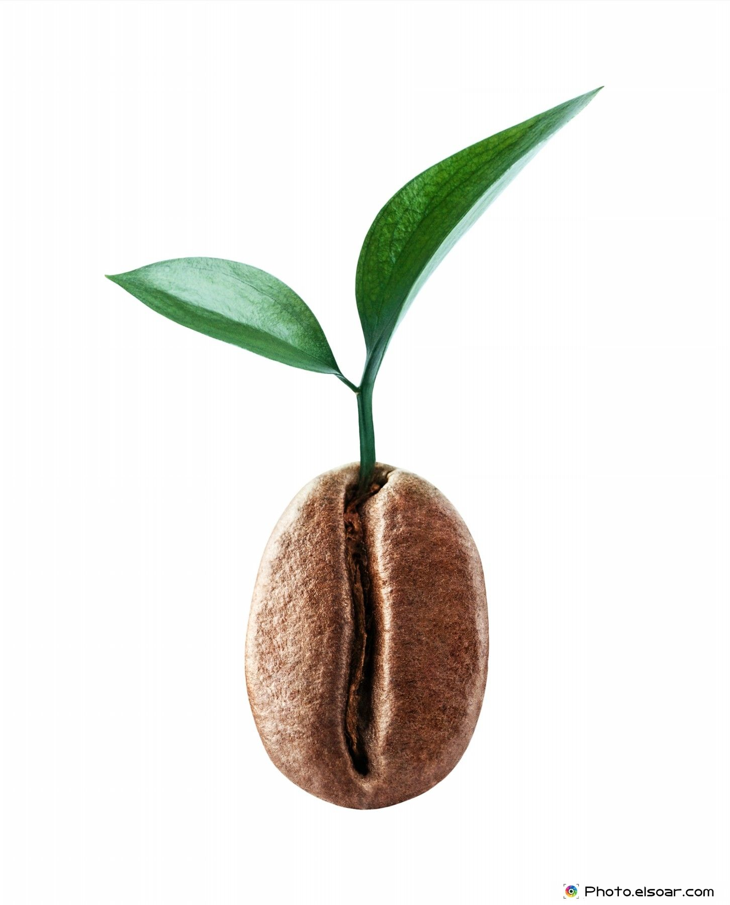 Coffee Bean With A Sprig