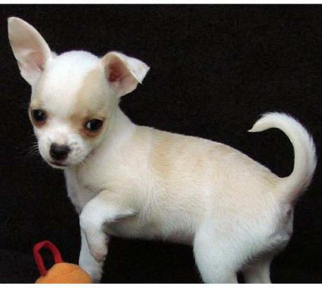 This Looks Like My New Puppy Only Mine Has The Cutest Ears That