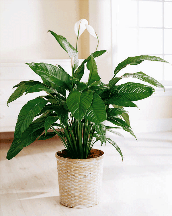 The Best Indoor Plants Peace Lily Idea Tanaman Indoor 400 x 300