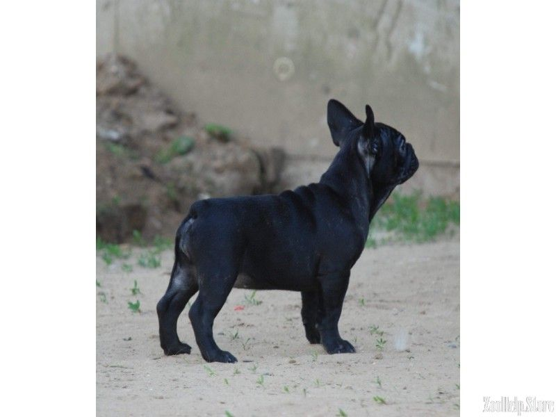 French Bulldog Puppies For Sale In Florida French Bulldog Puppies