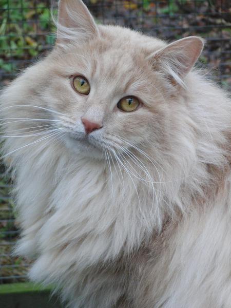 Herplaatsing Noorse Boskat Noorse Boskat Katten En Kittens Katten