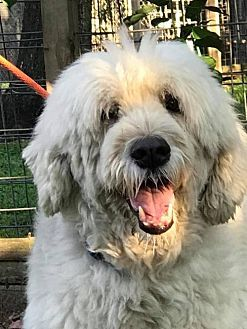 9 24 17 Spring Tx Great Pyrenees Old English Sheepdog Mix Meet