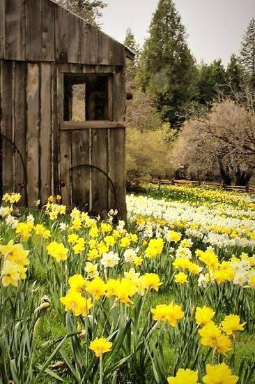 Hardened wood barn and daffodils