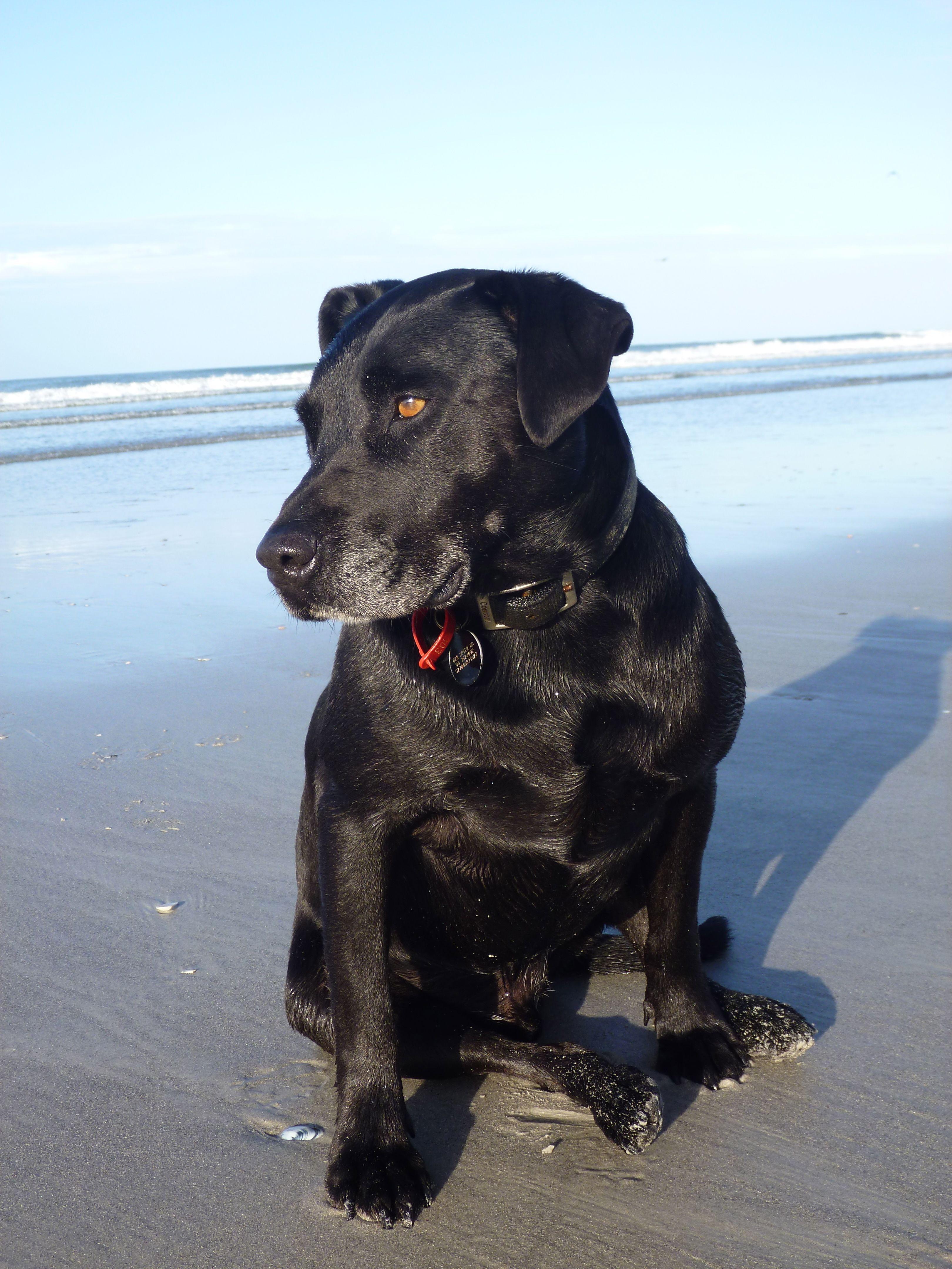Coby cross 50750 black labstaffy pawshake new plymouth