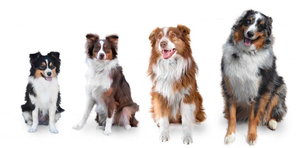 Aussie Sizes Toy Mini Small Standard And Large Standard Toy Australian Shepherd Miniature Australian Shepherd Aussie Shepherd