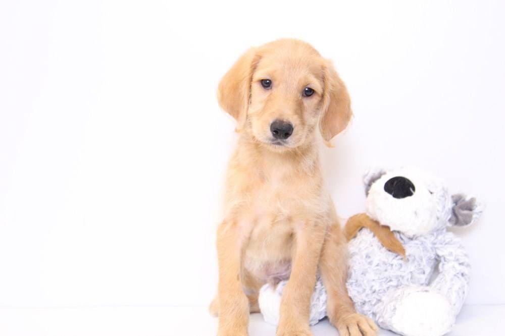 Labradoodle Puppies Florida Sale Ideas