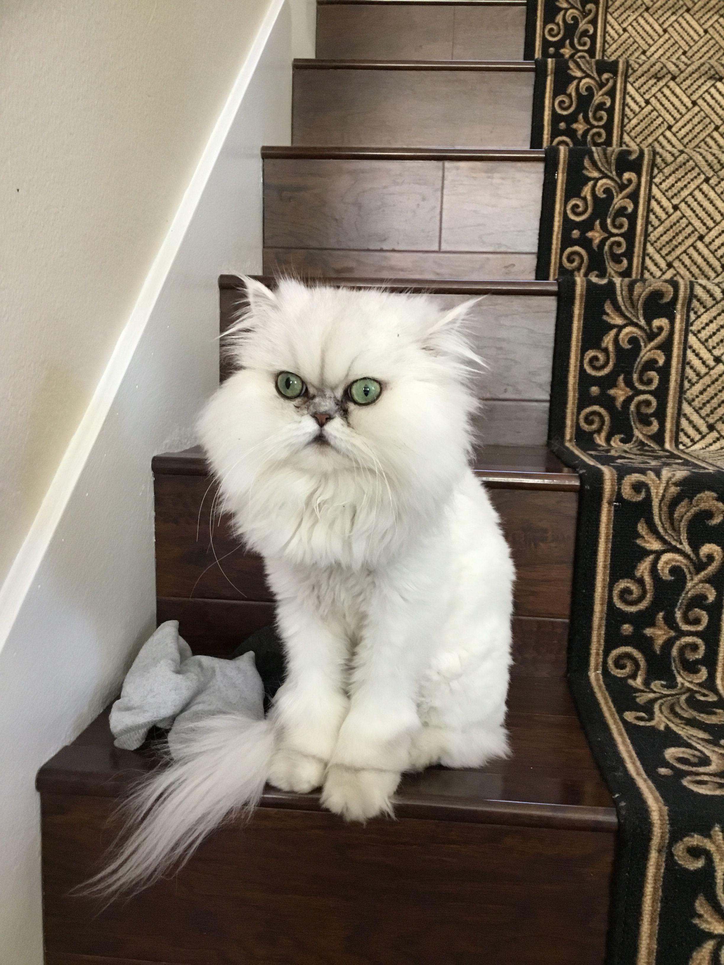 Persian Cat Lion Cut : persian, Elleni's, Beautiful, Persian, Aristotle,, Showing, Haircut!, Those, Eyes!, #persiancatlioncut, Images, Haircut,