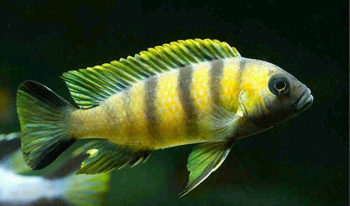 Fish I Like African Cichlid Aquarium Cichlid Fish Tropical Freshwater Fish