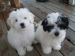 maltese shih tzu mix Google Search Cute dogs and