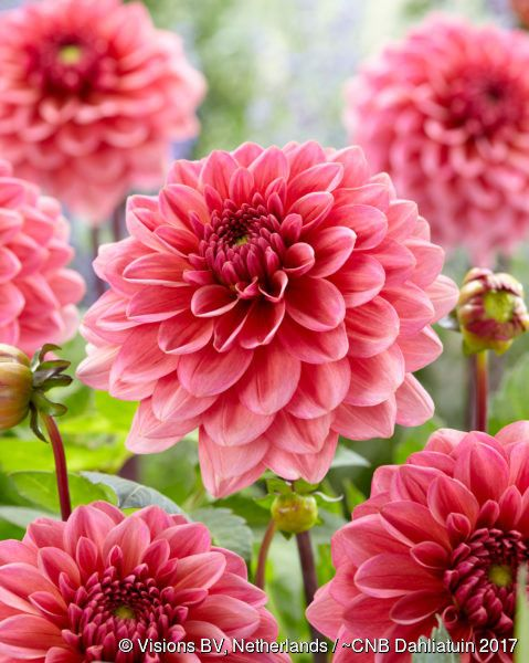 Salmon Runner Dahlia Beautiful Flowers Dahlia Flowers Nature