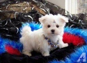 Healthy Teacup Maltese Text Us At 385 351 4290 Teacup Puppies Maltese Maltese Puppy Puppy Adoption