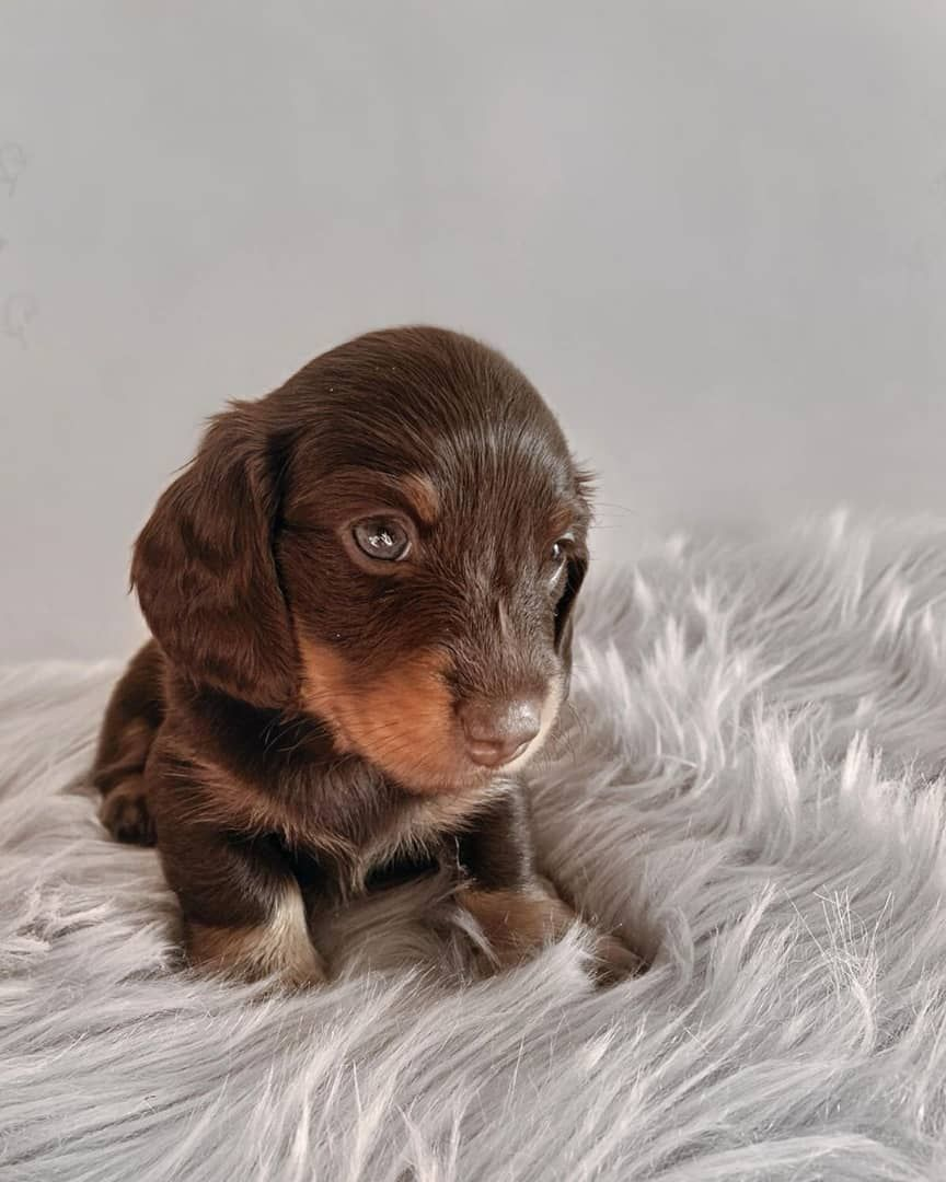 Miniature And Standard Dachshund Puppies for sale in