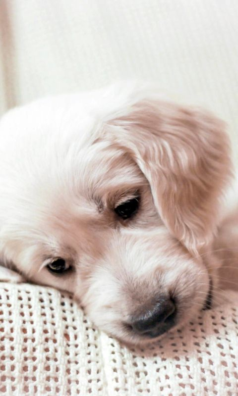 480x800 Wallpaper Golden Retriever Puppy Muzzle Puppies Puppy
