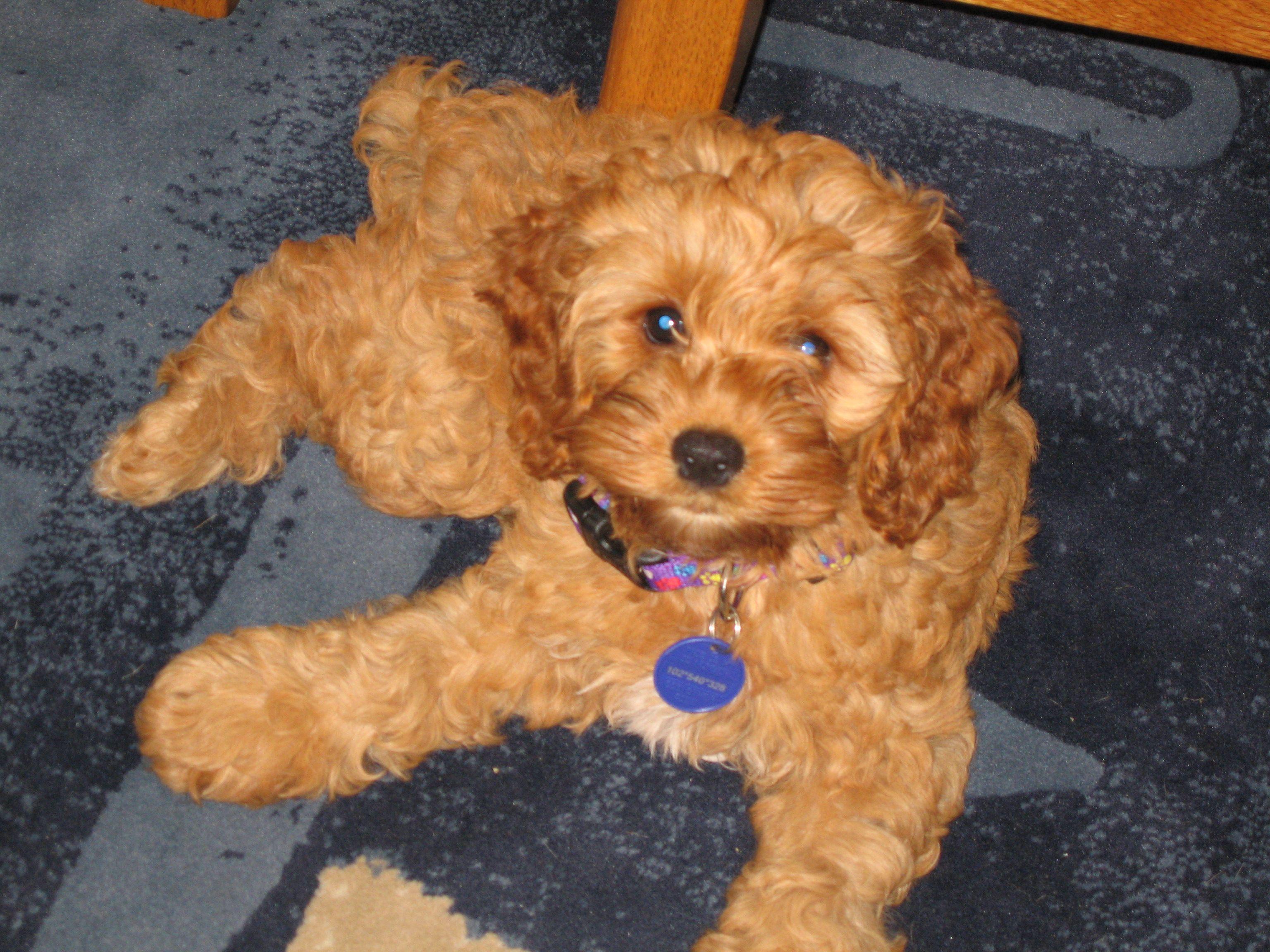 I want one! Cocker/poodle mix. Presh! i'll get my PUPPY