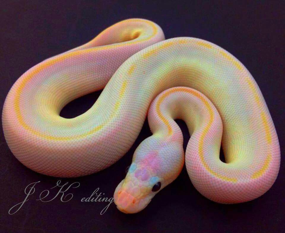 What In God S Name Is This Wonderous Snake And Where Can I Get One Pet Snake Snake Photos Cute Snake