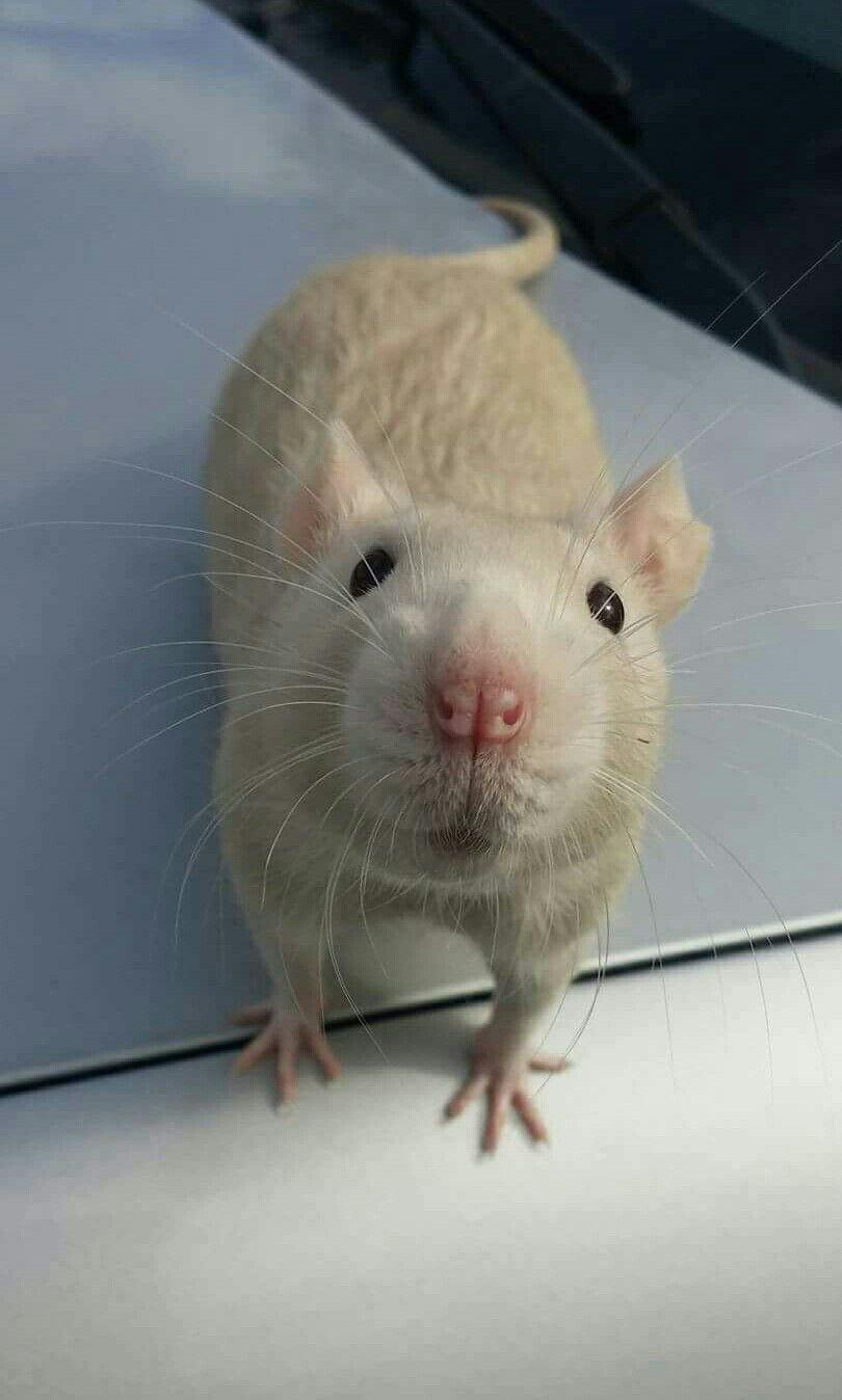 Kiss Ma Nose Cute Rats Pet Rats Animals Beautiful