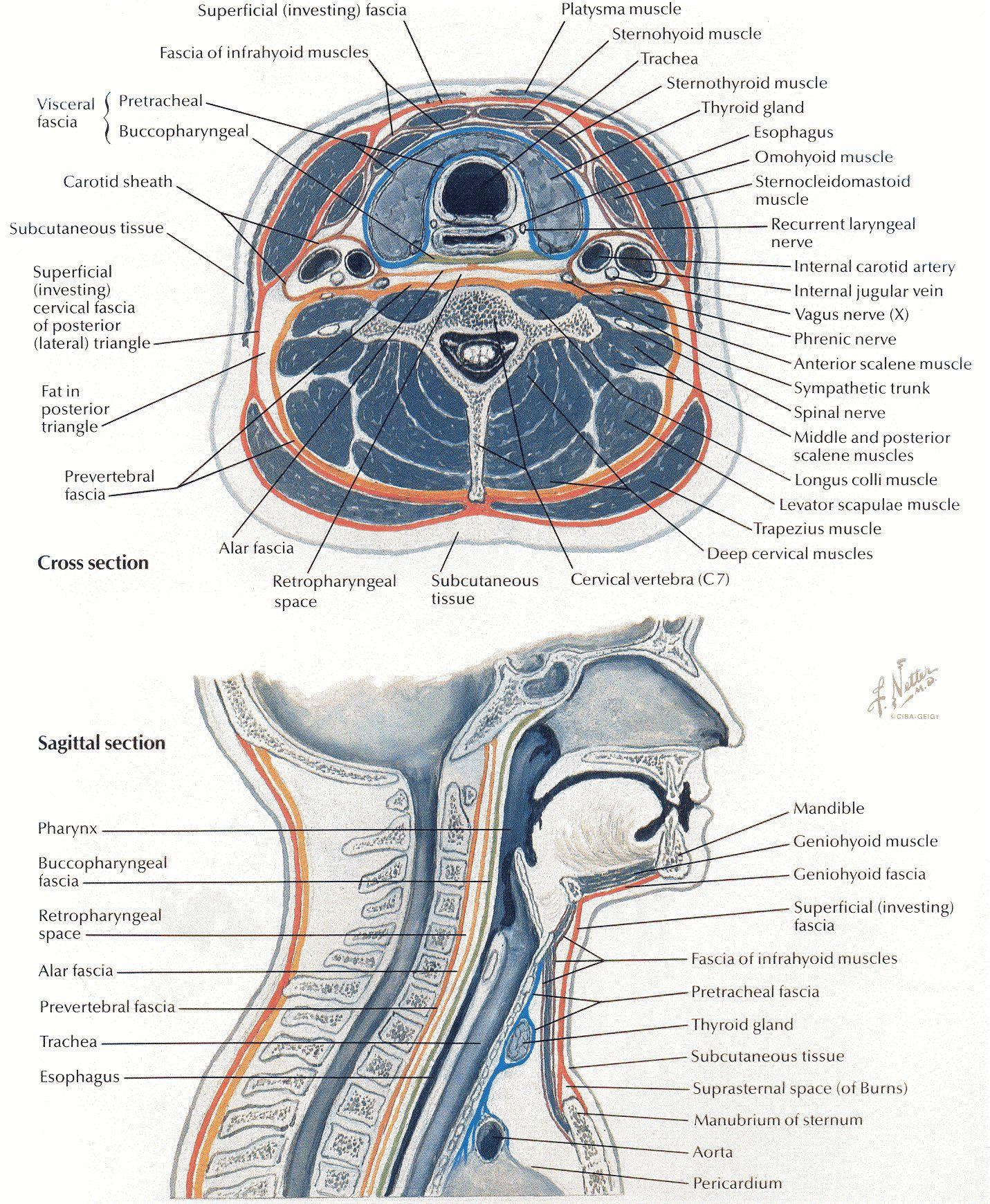 Netter 030 cross/sagittal view | Anatomy | Pinterest | Health education