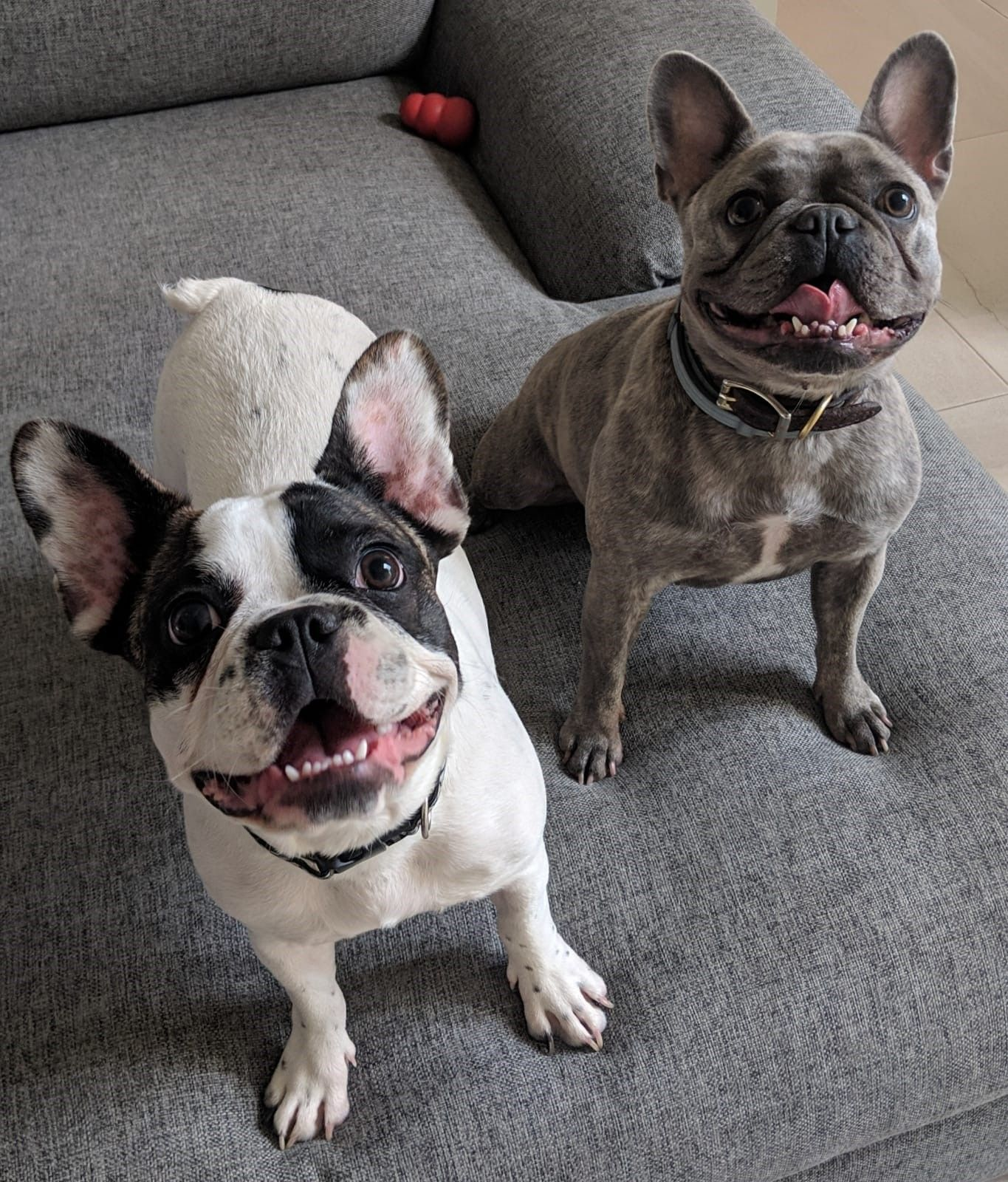Two French Bulldogs Move To Nepal In 2020 Pet People Cute Animals Pets