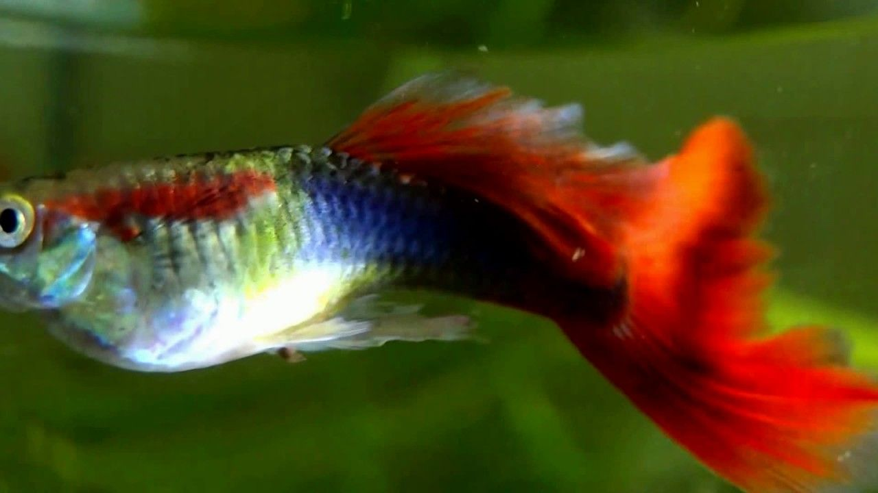 How I Film My Red Male Royal Fancy Guppies Fish Hdfish Tank