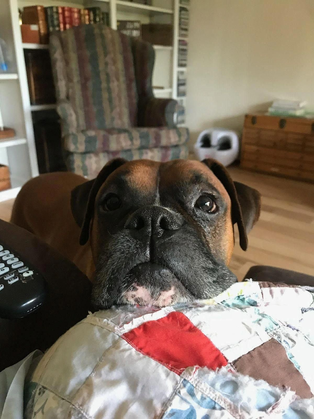 Obtain terrific suggestions on boxer dogs. They are