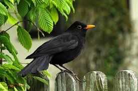 Kuidas Sundis Selline Nimi Nagu Blackbirddiary Black Garden