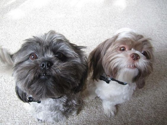 Adopt Walle Mr Pickles On Petfinder Shih Tzu Dog Shih Tzu Animals And Pets