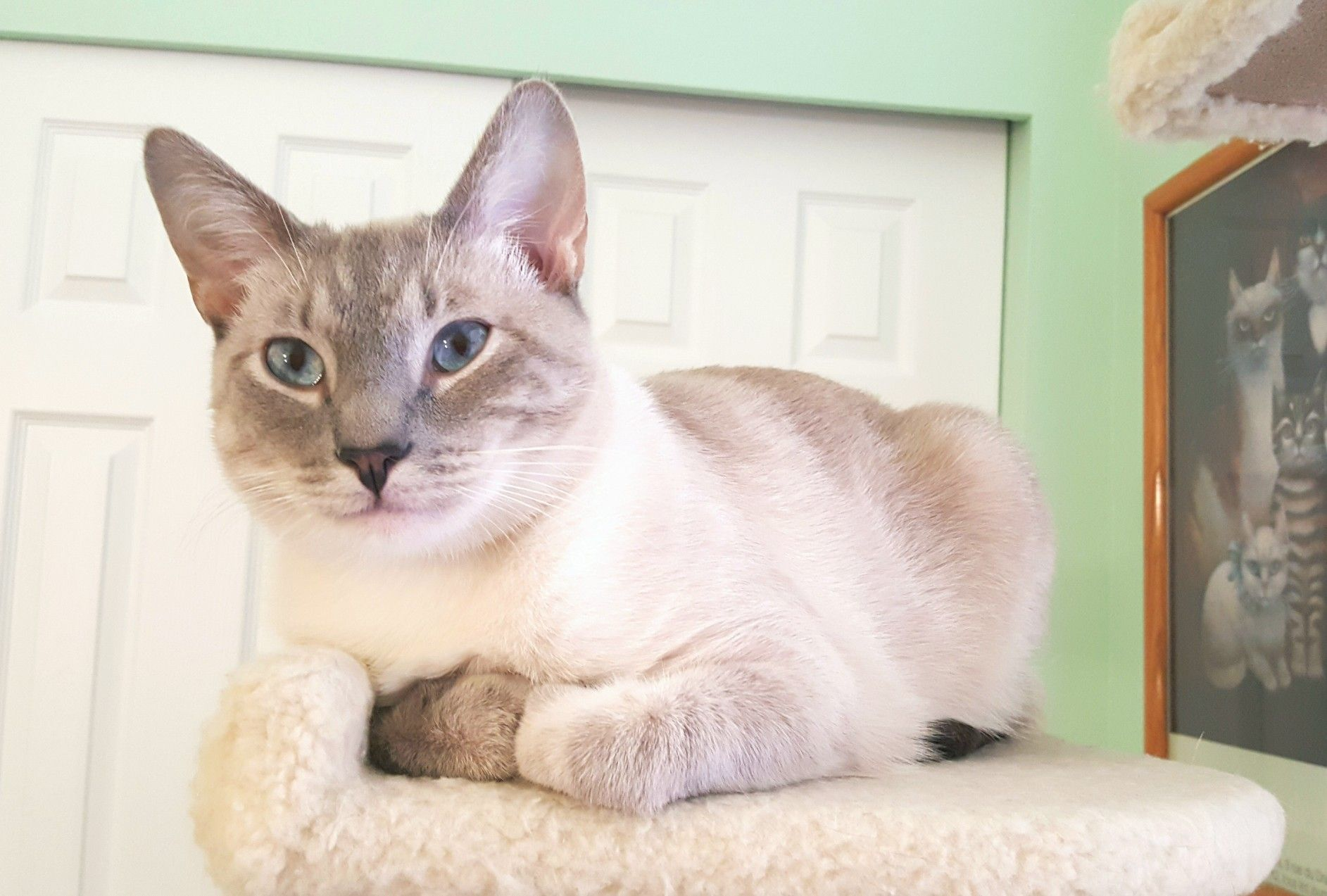 Simba Lynx Point Siamese Lilac Point Siamese Cats Cute Cats Colorpoint Shorthair