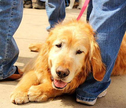 Golden Retriever Rescue Resource Golden Retrievers For Adoption