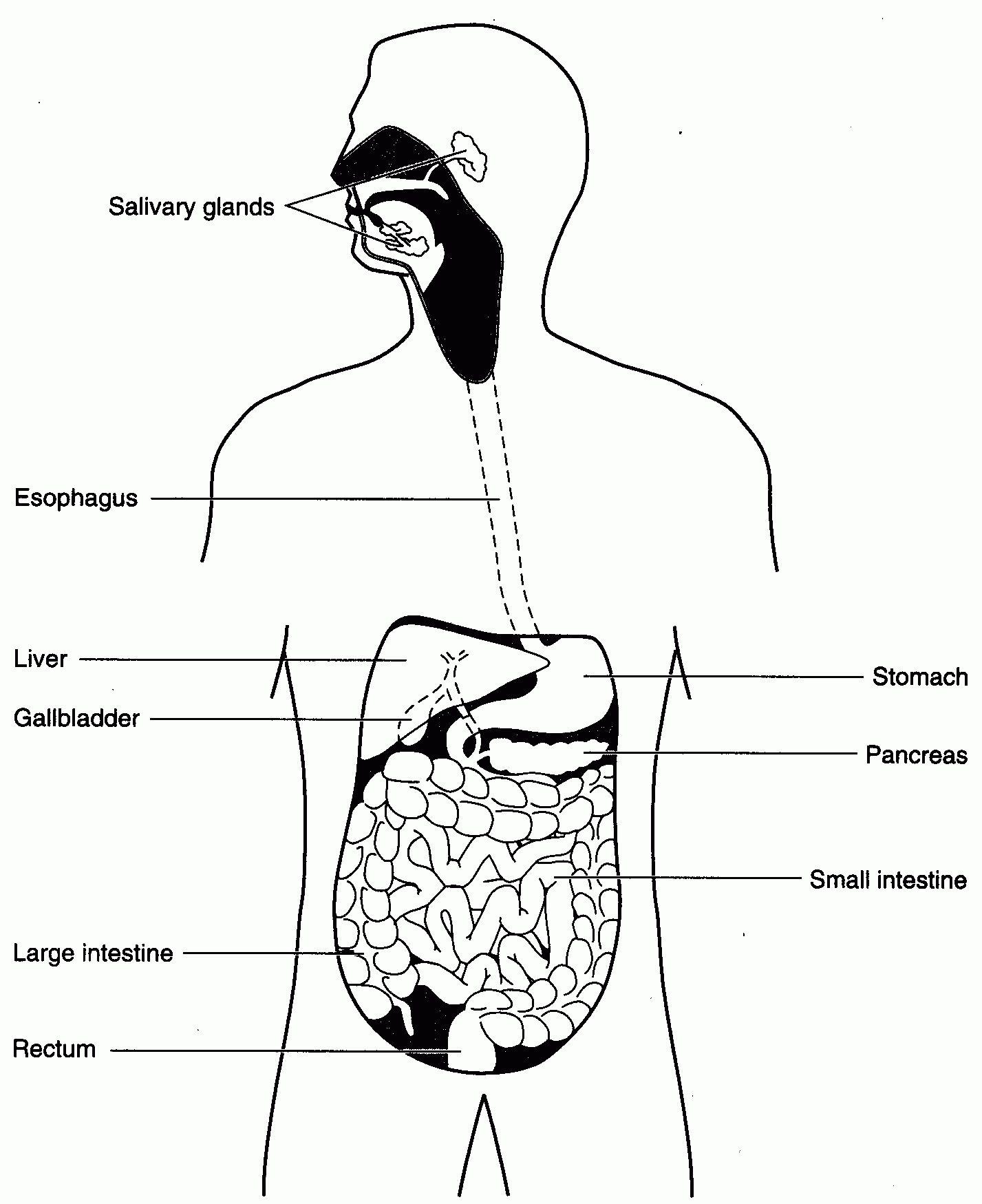 The Human Digestive System Worksheet Answer Key - worksheet