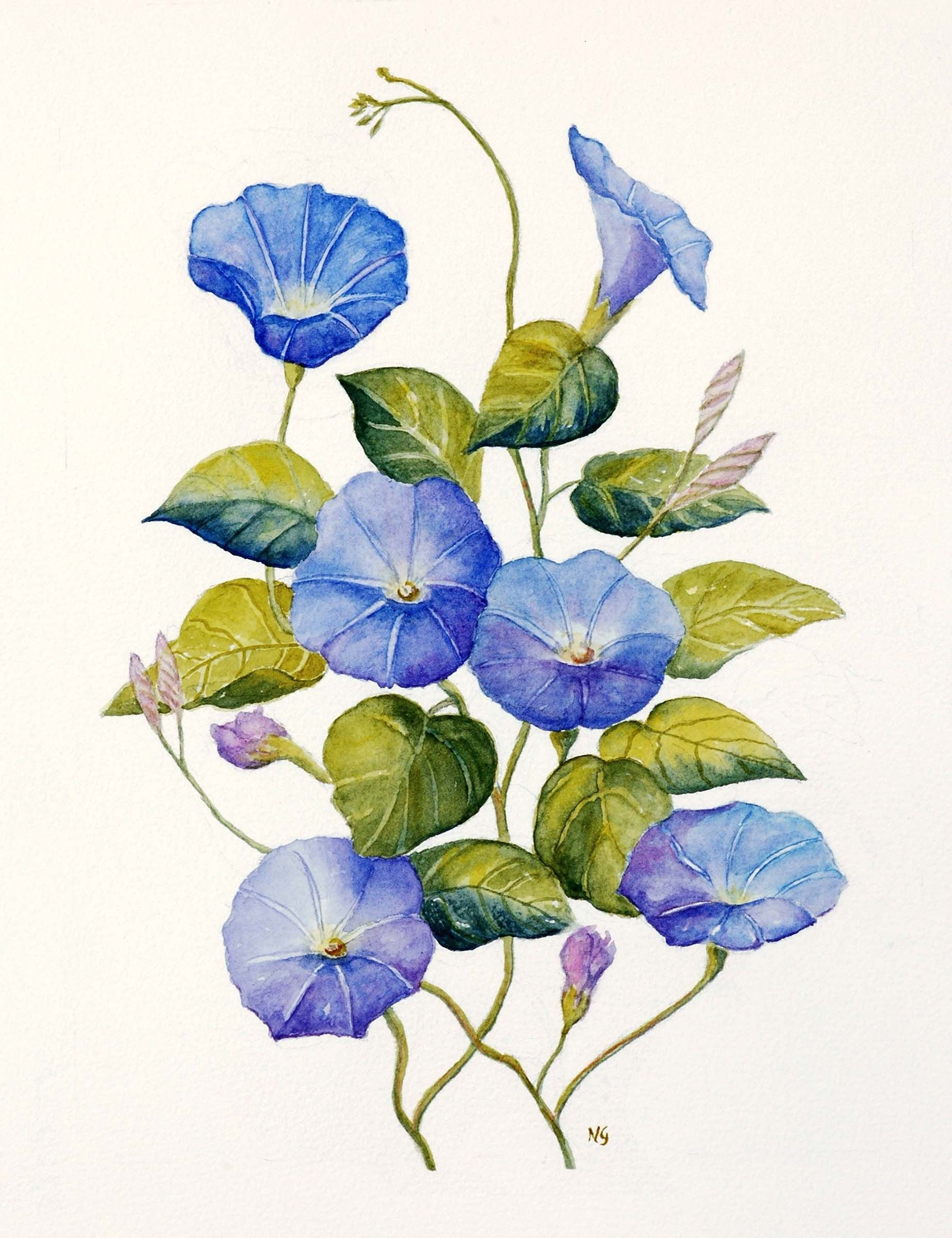 morning glory tattoo watercolor Google Search Morning