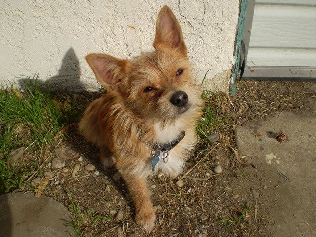Cairn Terrier Chihuahua Mix Dog Love Terrier Cute Animals