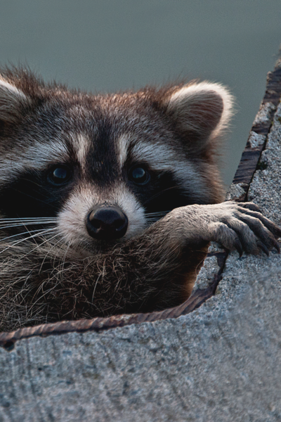 Kim Kurtz Just Leave So I Can Get Out Of Here Raccoons Cute Animals Animals Nature Animals