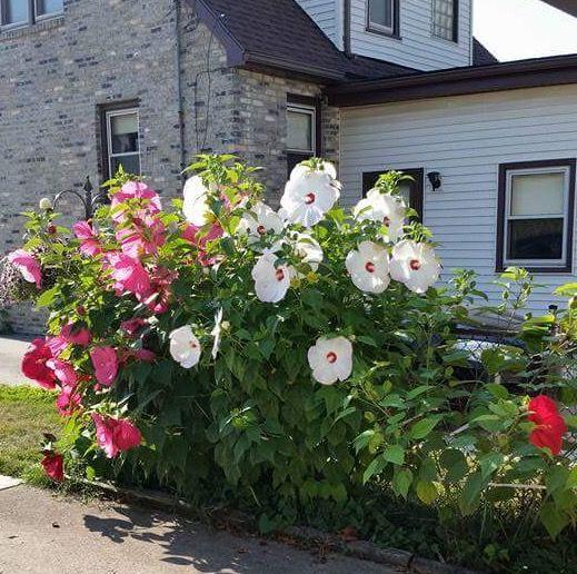 Front Yard Landscaping Ideas Wisconsin Blandscapingb Bb: Aunt Kay's Winter Hardy Hibiscus ! Kenosha, Wisconsin