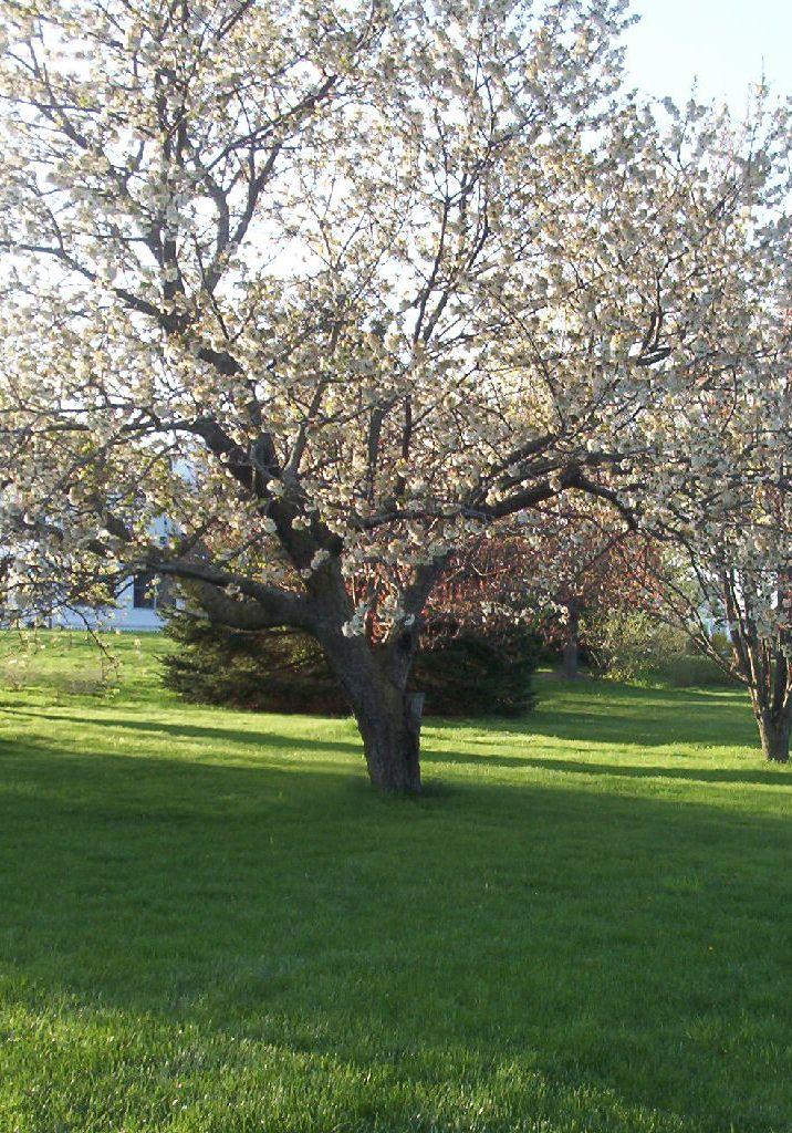 Rainier Cherry Tree Myrtle Tree Deciduous Trees Landscape