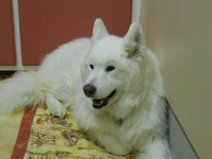 Sadie Is An Adoptable Samoyed Dog In Virginia Mn Sadie Is Good With Other Animals And Can Sit And Come She Is A Swee Samoyed Dogs Animal Companions Animals