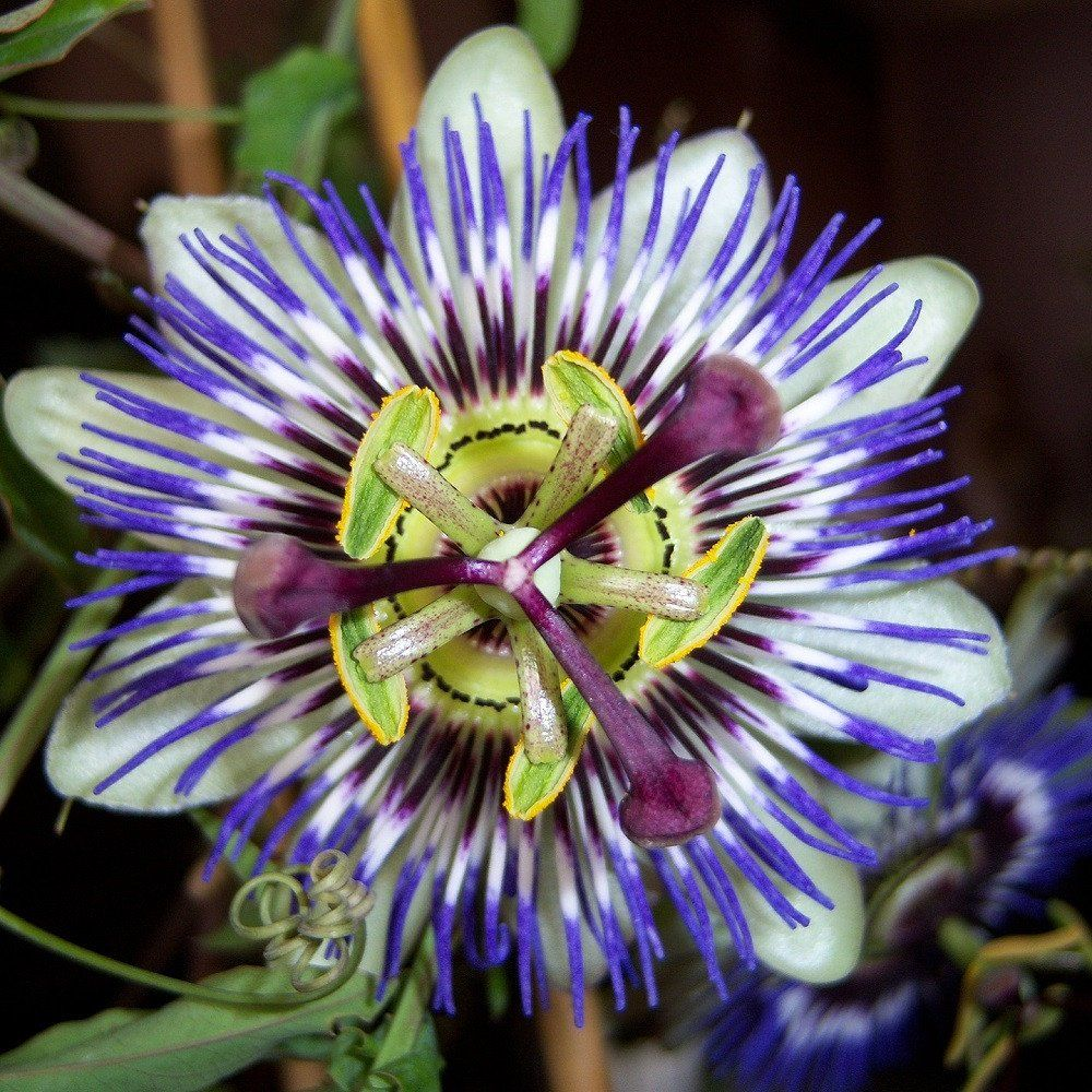 Allium Ampeloprasum Passion Flower Plant Passion Flower Blue Bouquet