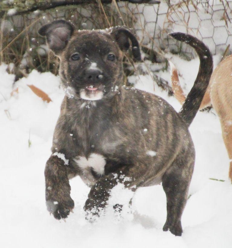 Pitbull Puppy Mix Pitbull Puppies For Adoption Pitbulls