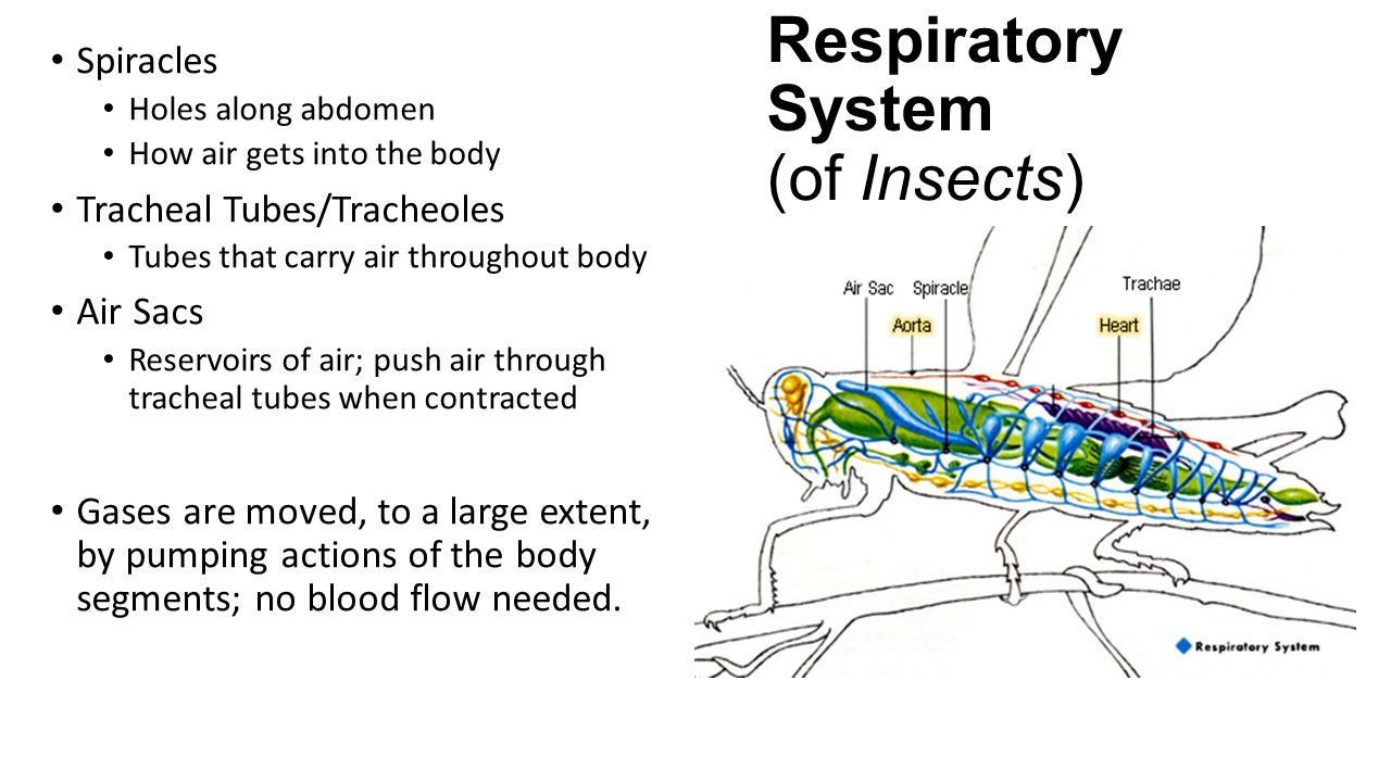 Diagram of respiratory system in insects image collections how to diagram of respiratory system in insects image collections how to guide and refrence ccuart Images