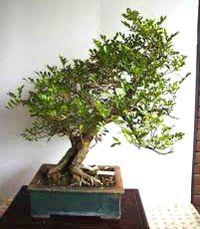 Orange Jasmine Bonsai Tree Murraya Paniculata Bonsai Tree Bonsai Bonsai Plants