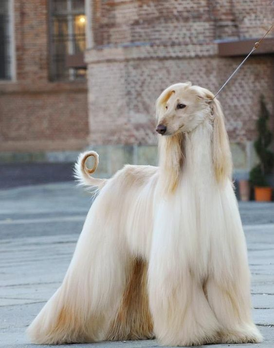 15 Interesting Hairstyles For Afghan Hounds In 2020 Afghan Hound Hound Dog Breeds