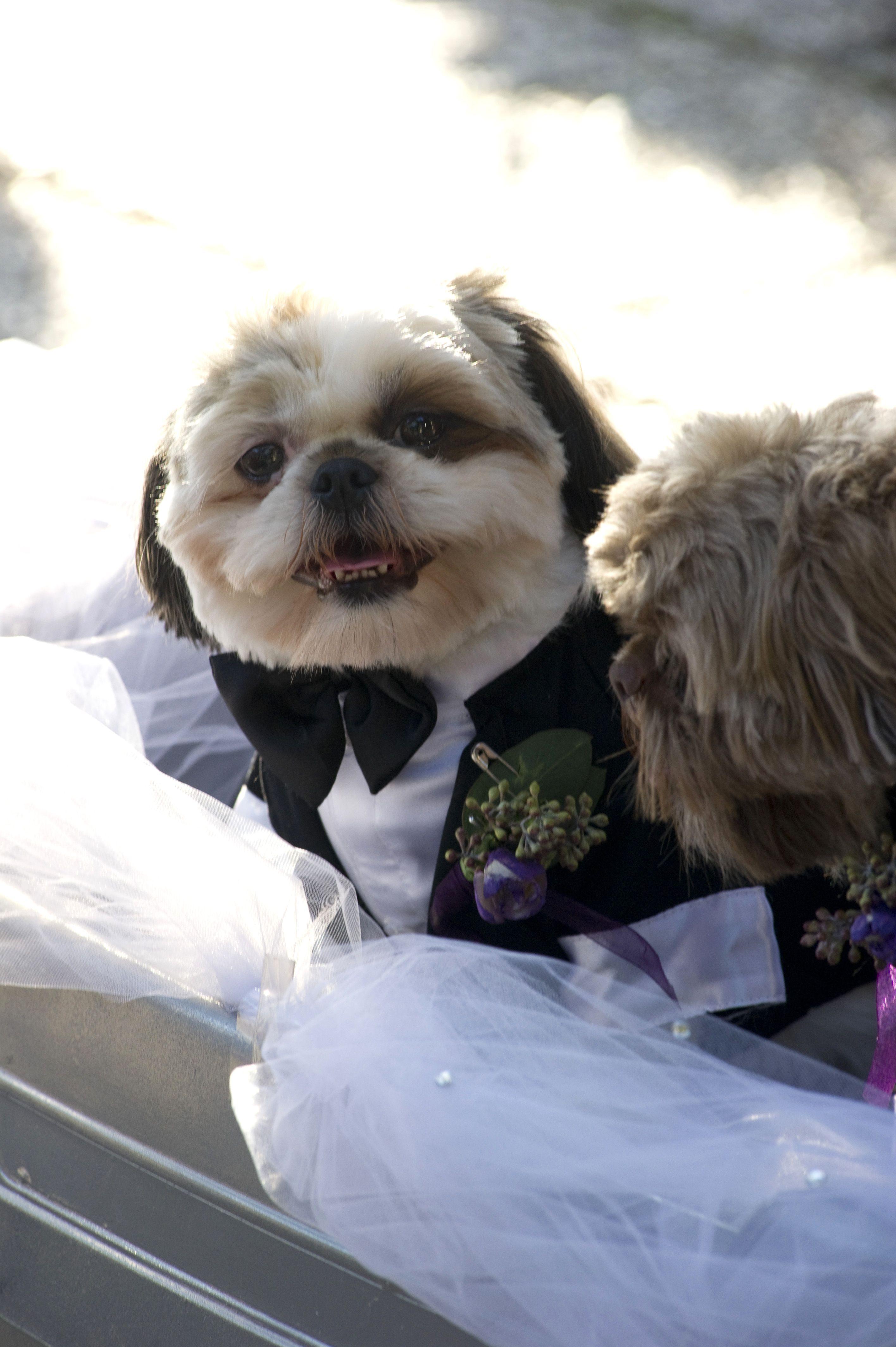 Dublin The Shih Tzu In His Wedding Attire Animals Shih Tzu