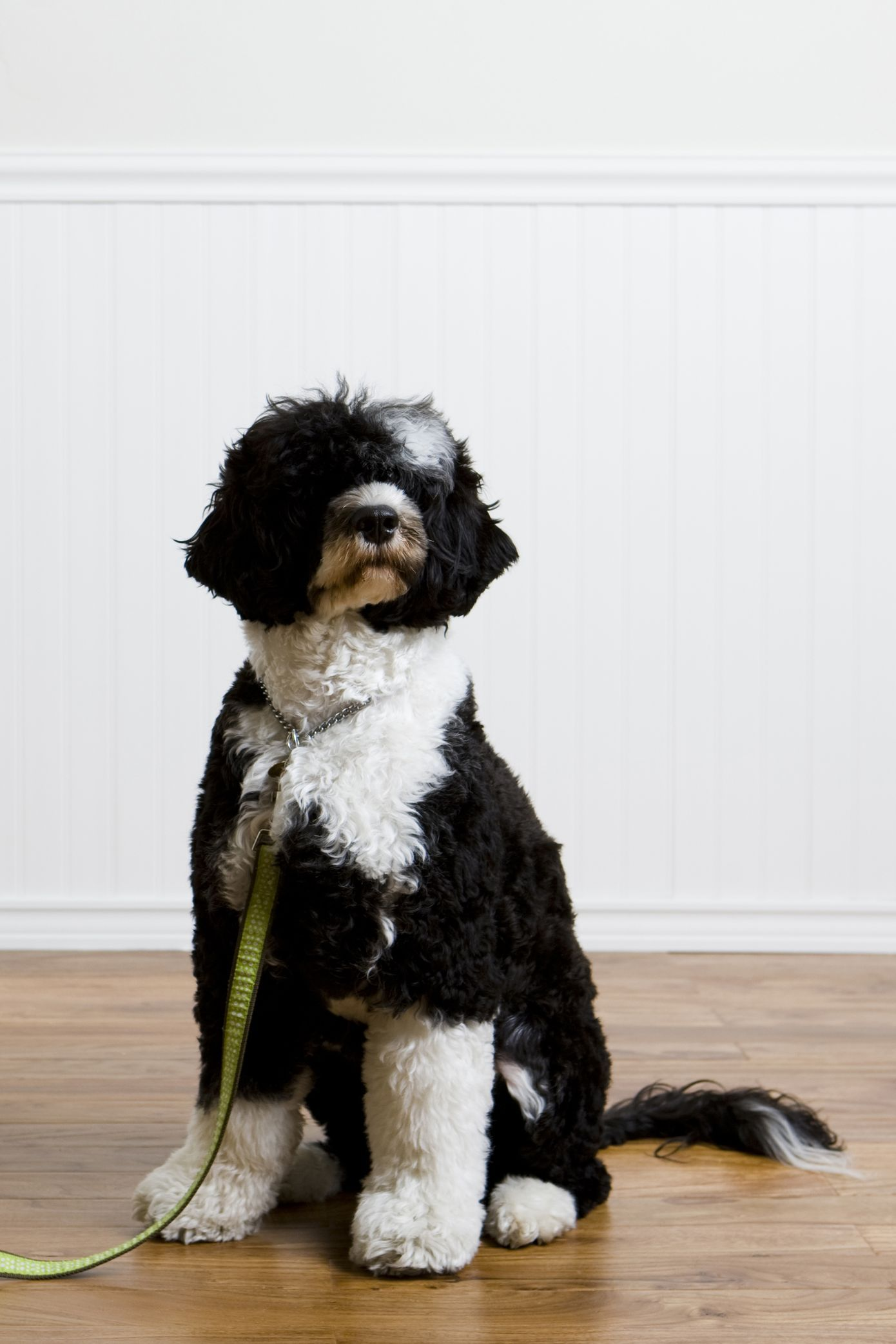 The 20 Cutest Dog Breeds That Don T Shed In 2020 Water Dog Breeds Dog Breeds That Dont Shed Best Dog Breeds