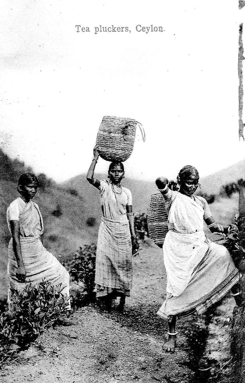 WOMAN TEA PLUCKERS Ceylon, 1880s, Tea history, Ceylon