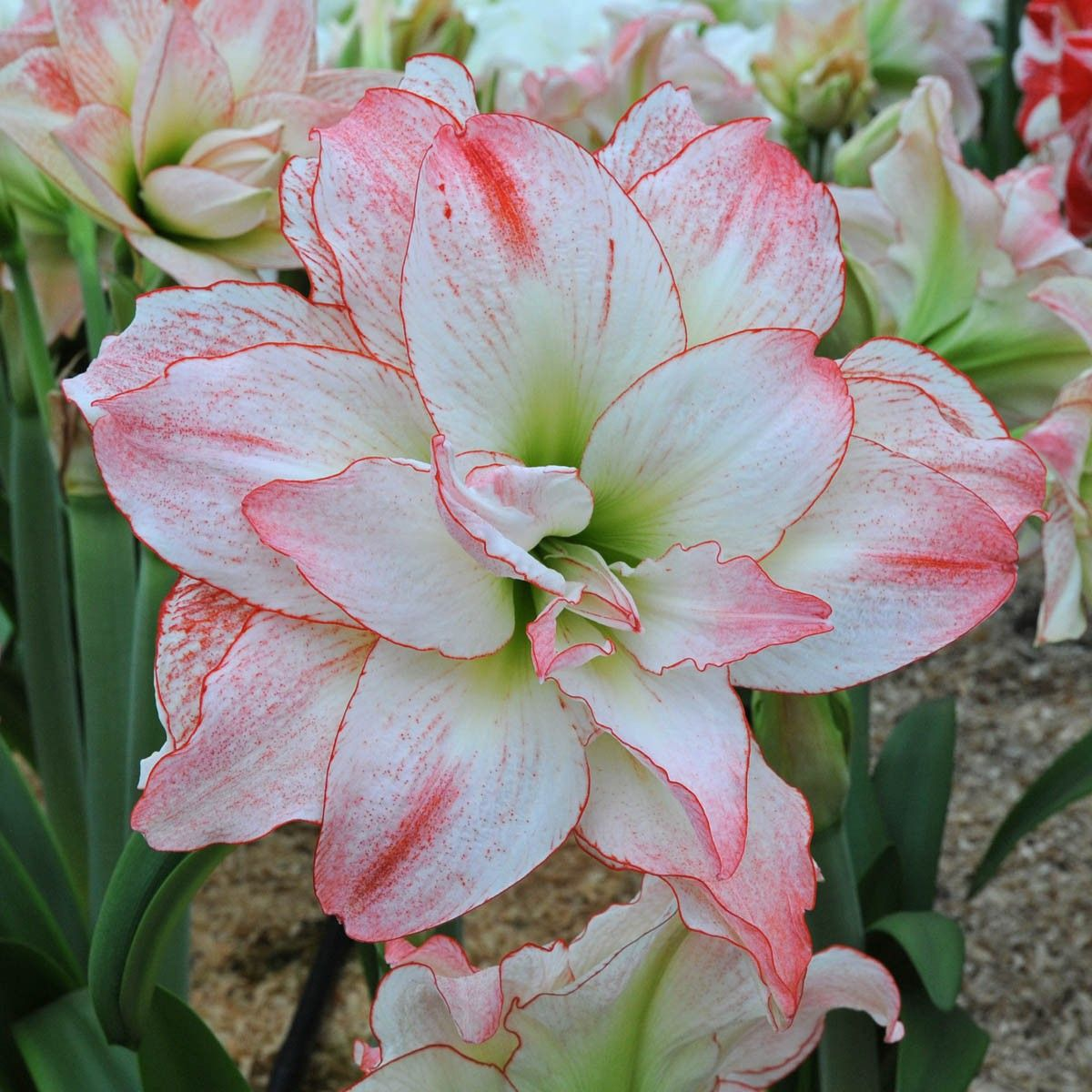 Aphrodite1200dg 12001200 amaryllis pinterest pretty a great short and sturdy plant that blooms with delightful flowers hardly any amaryllis can touch her beauty there is a reason why they named her after izmirmasajfo