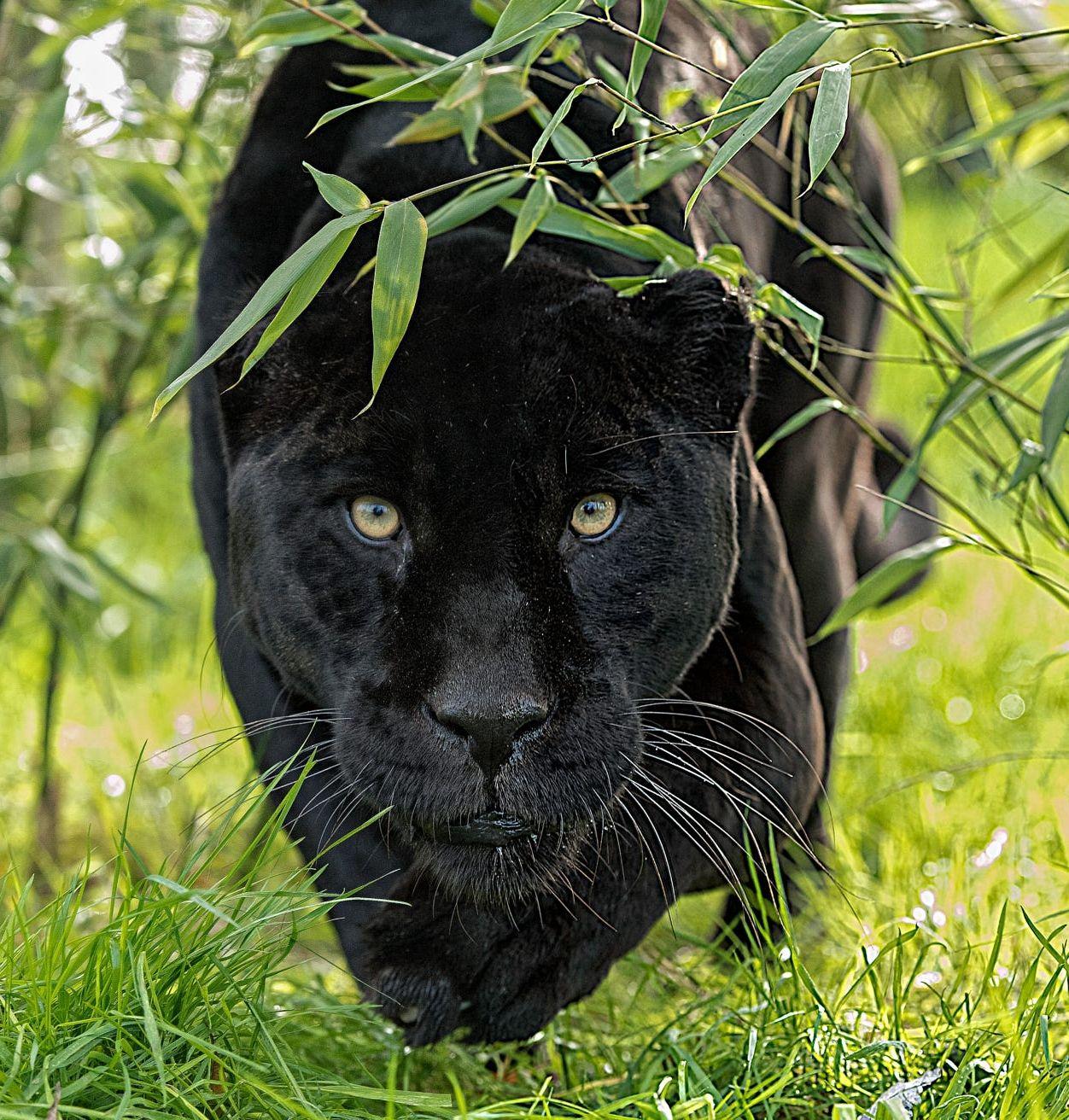 Картинки на аву черная пантера